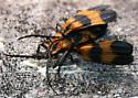 Net-winged Beetles [Calopteron reticulatum?] ID Request - Calopteron reticulatum - male - female