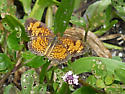 Pearly Crescentspot (Phyciodes tharos) - Phyciodes tharos - male