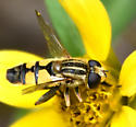 syrphid fly - Helophilus latifrons - male