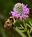 Bumble Bee species? - Bombus rufocinctus