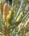 Pinyon sawfly larvae - Neodiprion edulicolus
