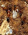 Ants nesting in rotten log - Camponotus floridanus