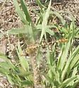 Dragonfly - Erpetogomphus designatus - male