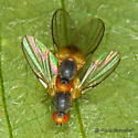 Another Diptera - Palloptera claripennis - male - female
