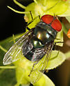 Fly - Chrysomya megacephala - male