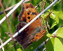 Question Mark (Polygonia interrogationis) - Polygonia interrogationis