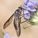 Thevenetimyia californica - male