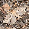 Fluttering moth - Korscheltellus gracilis