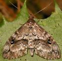 gold-lined melanomma moth - Melanomma auricinctaria - female