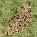 Porcelain Gray Moth - Hodges #6598 - Protoboarmia porcelaria
