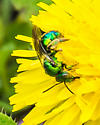 A beautiful green bee for ID. - Augochloropsis