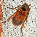 May Beetle - Anomala