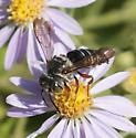 Coelioxys with red legs? - Coelioxys - male