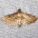 Marasmia Moth - Hodges #5289 - Cnaphalocrocis cochrusalis