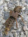 Rove beetle - Platydracus maculosus
