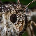 Unknown Moth - Eufidonia discospilata
