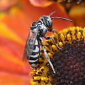 Female cuckoo bee - Triepeolus - female
