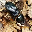 large black beetle (scarites?) - Odontotaenius disjunctus