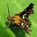 Tiny Pretty Moth - Thyris maculata