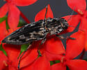 click beetle or metallic wood borer?????? - Chalcophora virginiensis