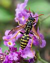 Yellow and Black Wasp - Polistes dominula