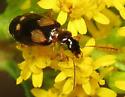 Small beetle on goldenrod - Lebia ornata