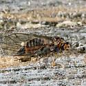 Unknown Bug - Cacopsylla - female