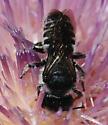 Megachilid? - Megachile montivaga - female