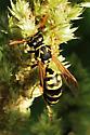 Wasp feeding on Amaranthus - Polistes dominula