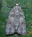 Noctuidae - Acronicta exilis