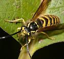 Yellow-Haired Yellowjacket - Vespula flavopilosa - male