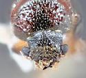 Mojave J71 - Xyloblaptus prosopidis