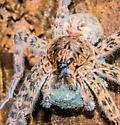 large spider with Egg sac - Dolomedes tenebrosus - female