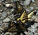 Papilio rutulus - male
