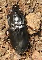 Ground Beetle? - Anisodactylus harrisii - male