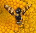 Tephritid fly, Urophora quadrifasciata - Urophora quadrifasciata