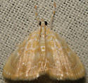 common glaphyria - Glaphyria glaphyralis