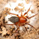 Spider with egg sac - Callilepis pluto - female