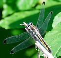 Blue-eyed Dragontail - Libellula vibrans - female