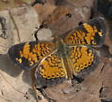 Northern or Pearl Crescent - Phyciodes tharos - male