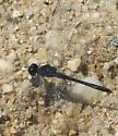 Seaside Dragonlet - Erythrodiplax berenice - male