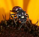 Digger Bee - Holcopasites calliopsidis