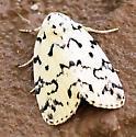 a Tiger Moth  ? - Polygrammate hebraeicum