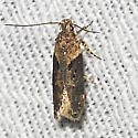 Black-smudged Chionodes Moth - Hodges#2093 - Chionodes mediofuscella
