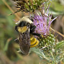 Which Bumblebee? - Bombus appositus - female