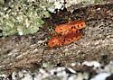Tennessee (Orange)  Love Bugs - Pselliopus barberi - male - female