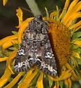 day feeding moth - Paramiana? - Mamestra configurata