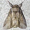 Notodontidae - Paraeschra georgica