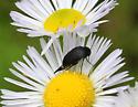 Which tumbling flower beetle, please? - Mordella