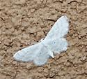 White Moth with muted Beige Lines - Lobocleta peralbata